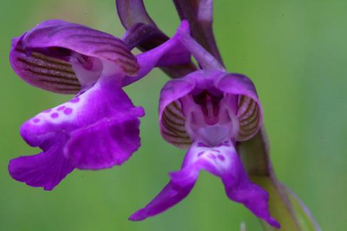 Green Wing Orchid Anacamptis morio