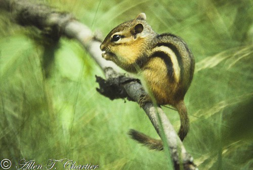 Tamias striatus (Eastern Chipmunk)