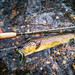 Wild Brown Trout minutes from Baltimore