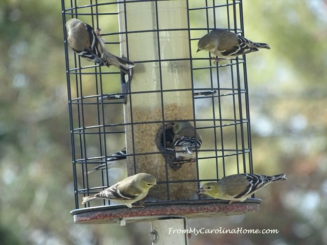 Goldfinches March 2017 - 1