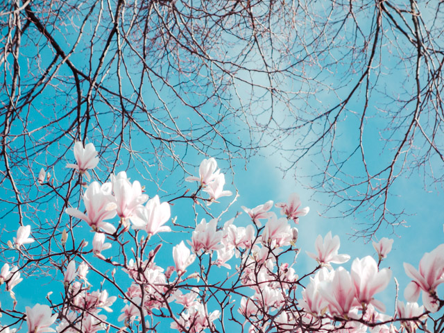 magnolia and tree branches