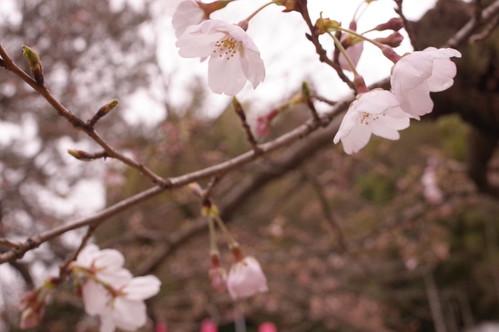 Chiba Inohanayama sakura blooming 01