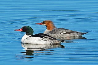 The happy merganser couple | by Doug Greenberg