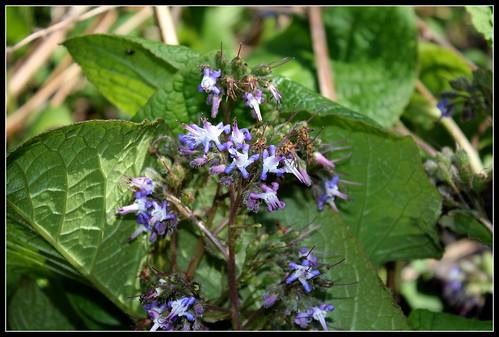Trachystemon orientalis - bourrache du Caucase  33837915342_4b8b27935e