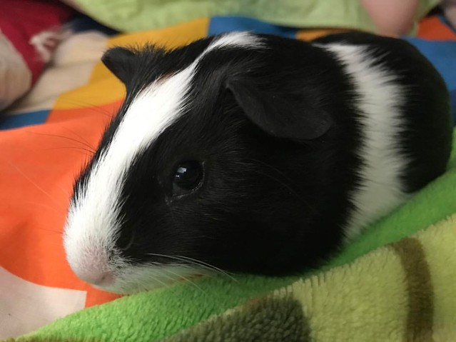 They say every guinea pig needs a companion. Meet Waddles.