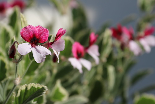 Pelargonium 'Dreamland'