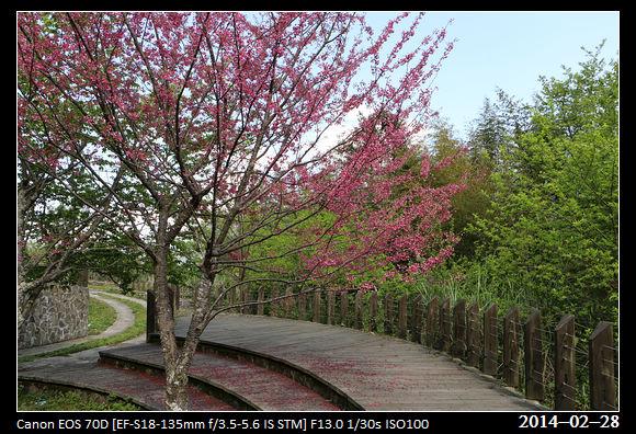 20140228_CherryBlossom6