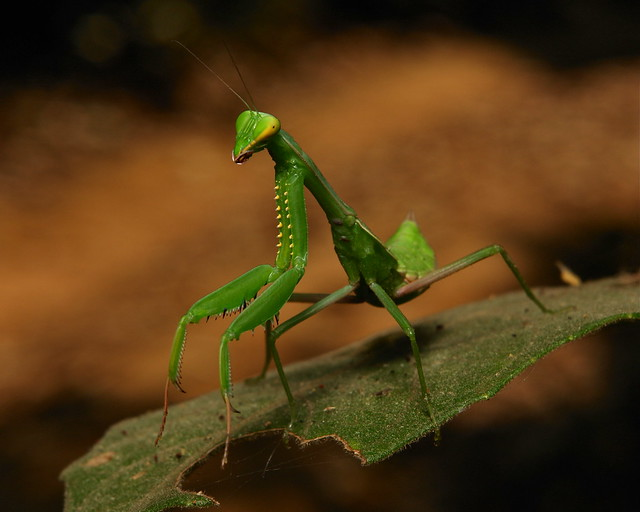 Giant Asian Mantis Nymph (Hierodula patellifera) | Flickr ...