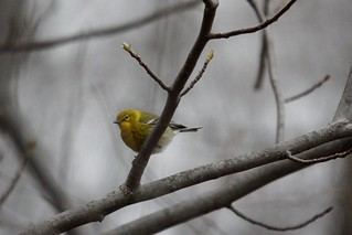 Pine Warbler | by Birding In New Jersey