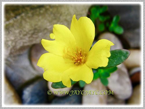 Brilliant Yellow Portulaca grandiflora in our tropical garden, 25 Jan 2017