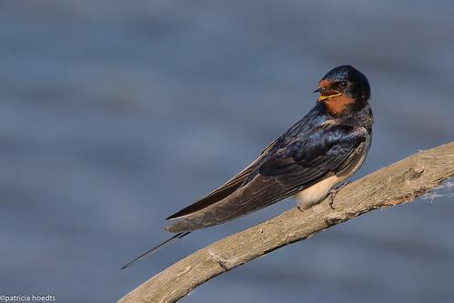 Hirondelle rustique - Hirundo rustica - Barn swallow