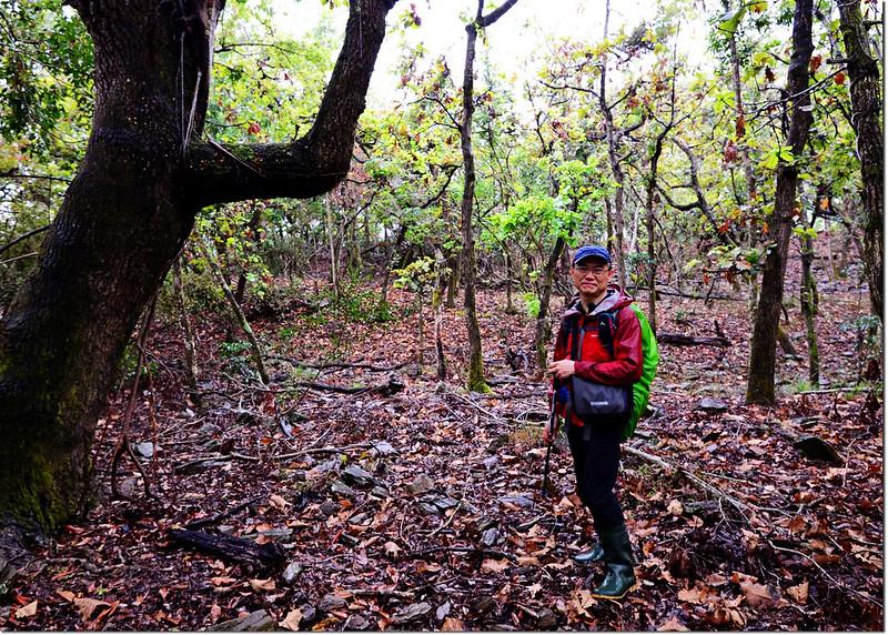 一場山槲樹純林 4
