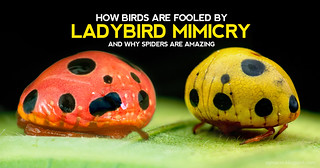 How Birds are Fooled by Ladybird Mimicry and Why Spiders are Amazing
