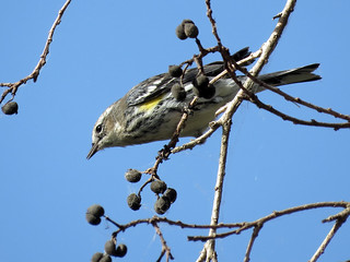 Yellow-rumped Warbler | by Powered By Birds