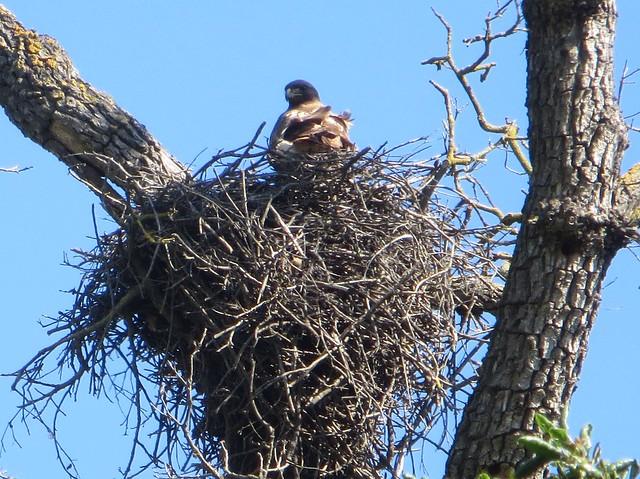 nesting hawk