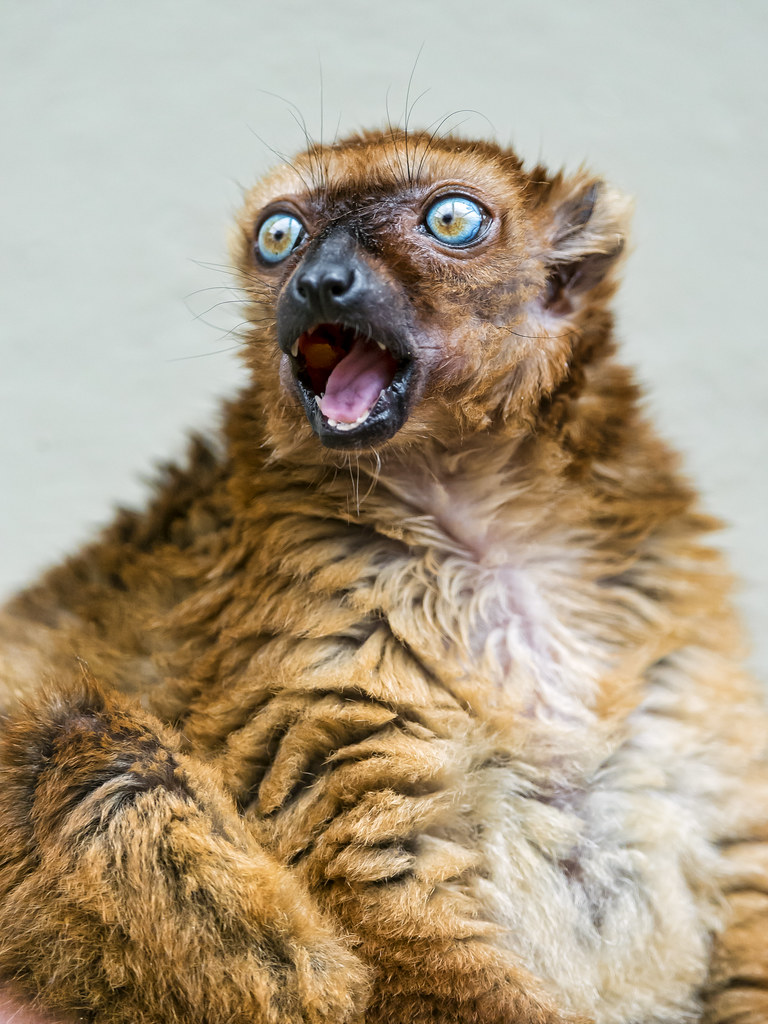 Female Sclaters Lemur With Open Mouth This Time She Was