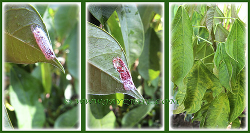 Ovisac of Soft scale insects on Jatropha integerrima (Spicy Jatropha), Feb. 24 2014