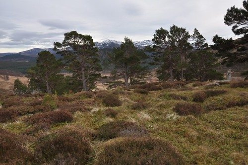 Lochnagar through the pines