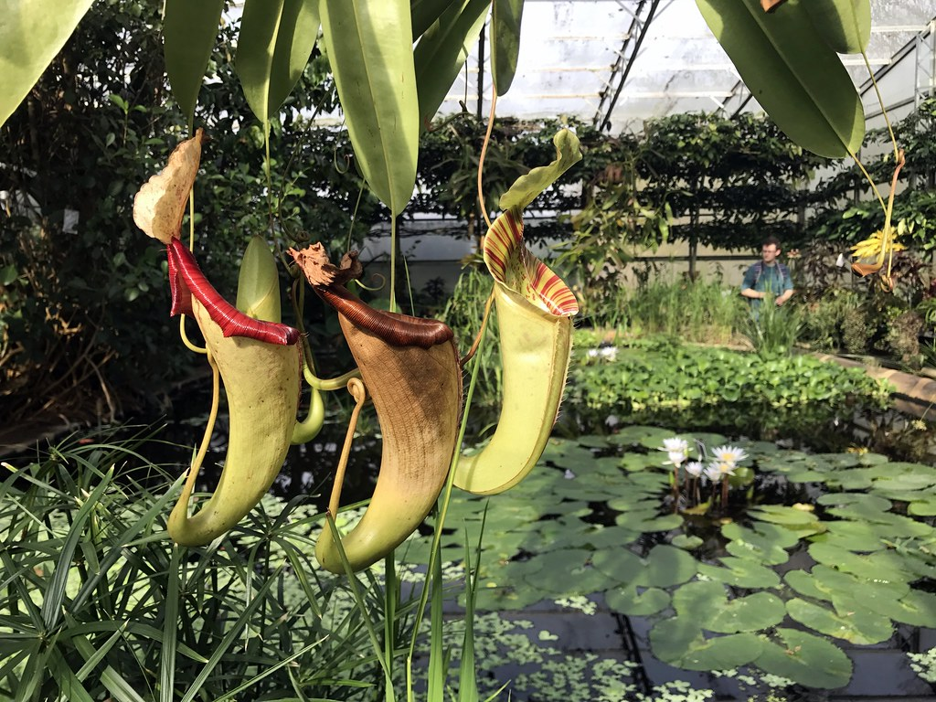 Pitcher plants in the Botanic Gardens