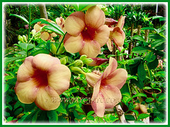 A shrub of Allamanda cathartica cv. Indonesia Sunset (Peach-coloured Allamanda) in full bloom, 22 Aug 2013