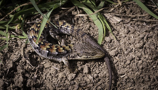 San Diego Alligator Lizard (Elgaria multicarinata webbii) | by David A. Burkart