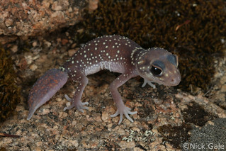 Thick tailed gecko (Underwoodisaurus milli) | by Nick Gale