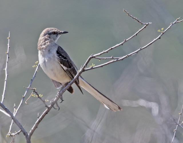 Mocking-Bird-47-7D2-040517
