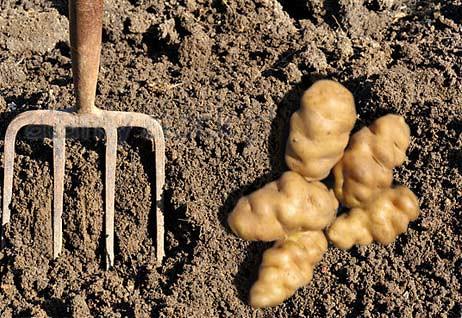 Lumper Potato