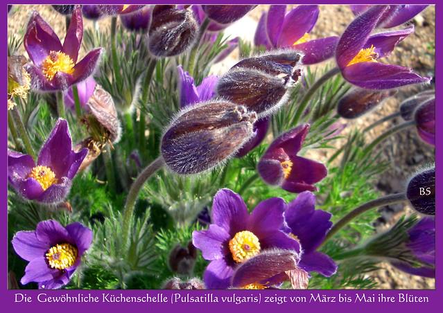 Die Gewöhnliche Kuh- oder Küchenschelle (Pulsatilla vulgaris) blüht von März bis Mai ... Foto: Brigitte Stolle, Mannheim