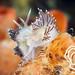 Coryphella verrucosa mating