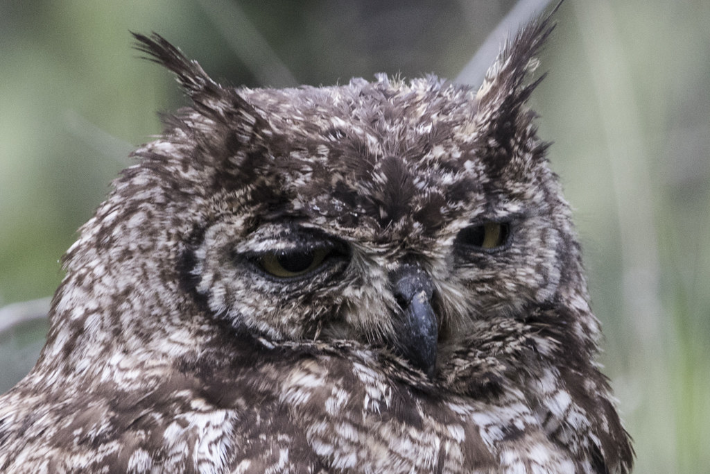 Spotted Eagle-Owl  Bubo Africanus