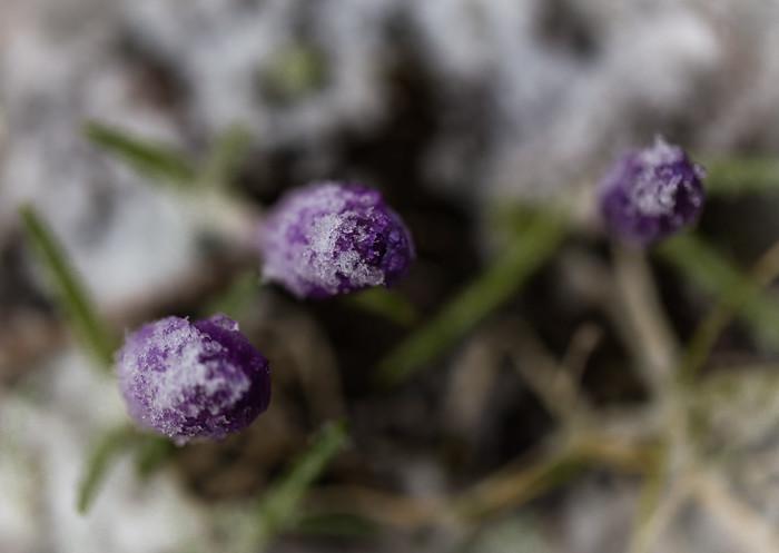 violetti krookus keväällä lumi