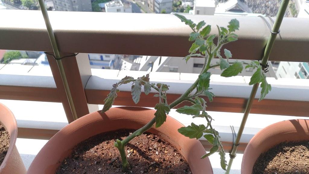 発根したトマトの植え替え完了