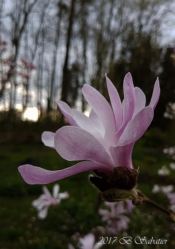Fleur de magnolia. 33620415930_f644728480_b