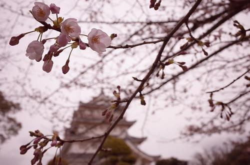 Chiba Inohanayama sakura blooming 05