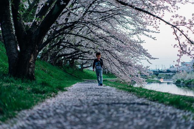 CherryBlossom_04