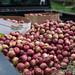 Jenna's Truck, Full of Apples for Cider