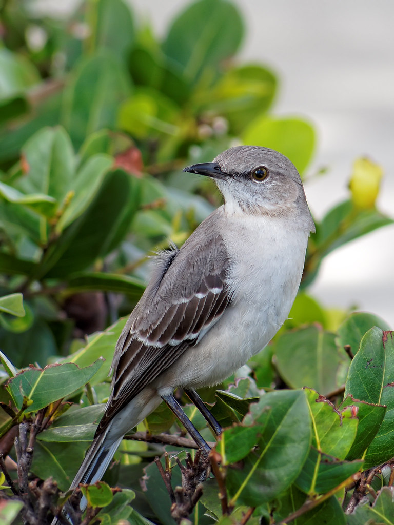 Portrait Of The Florida State Bird