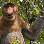 Proboscis monkey - Borneo