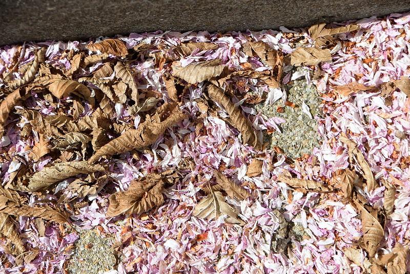 Cherry blossoms dead 09.04.2017