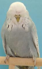 Bester Altvogel GG Matthias Hock (10549) mit 0,1 Spangle grau