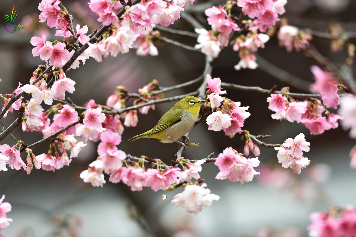 Sakura_White-eye_0452