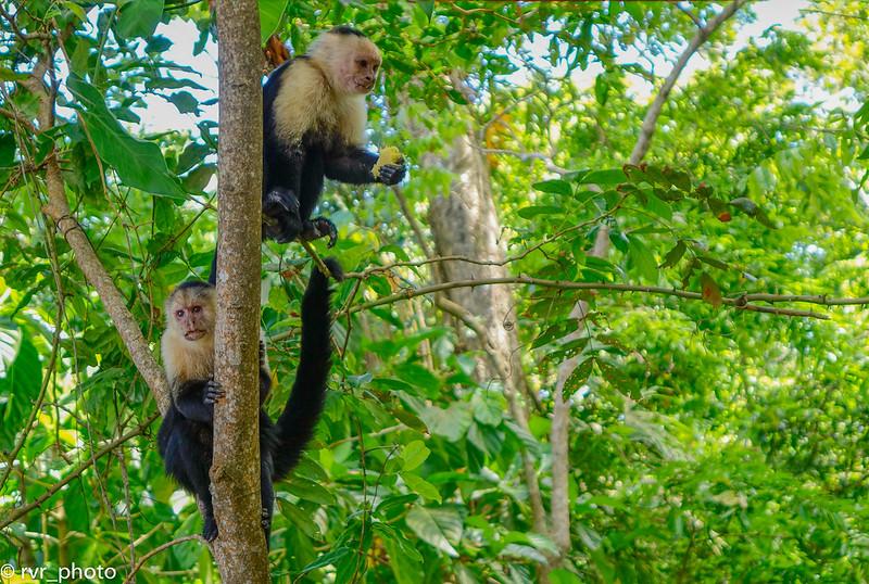 Monos Capuchinos, Parque Cahuita, Costa Rica