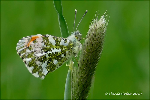 Orange tip Male