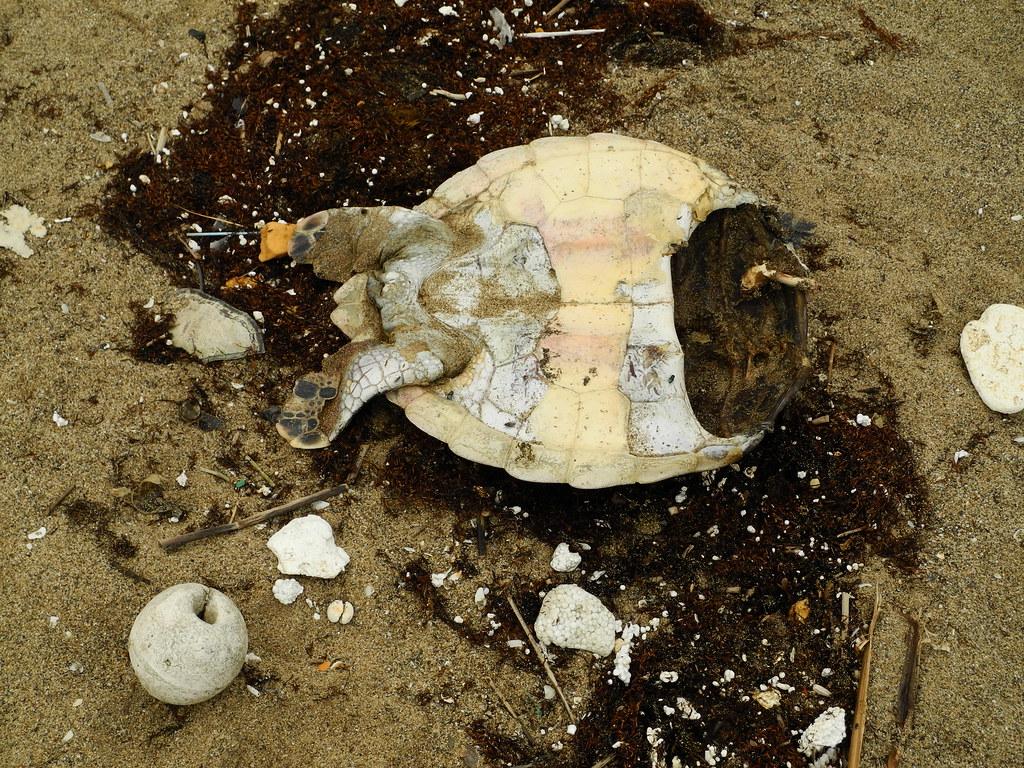 沙灘上的綠蠵龜屍體。攝影:曾以寧。