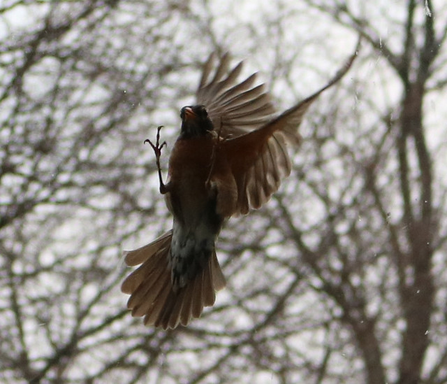 robin in midair with its feet straight up and claws extended