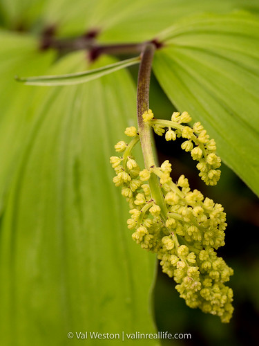 solomon's seal - val in real life