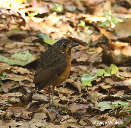 Scaled Antpitta | by Jorge Montejo