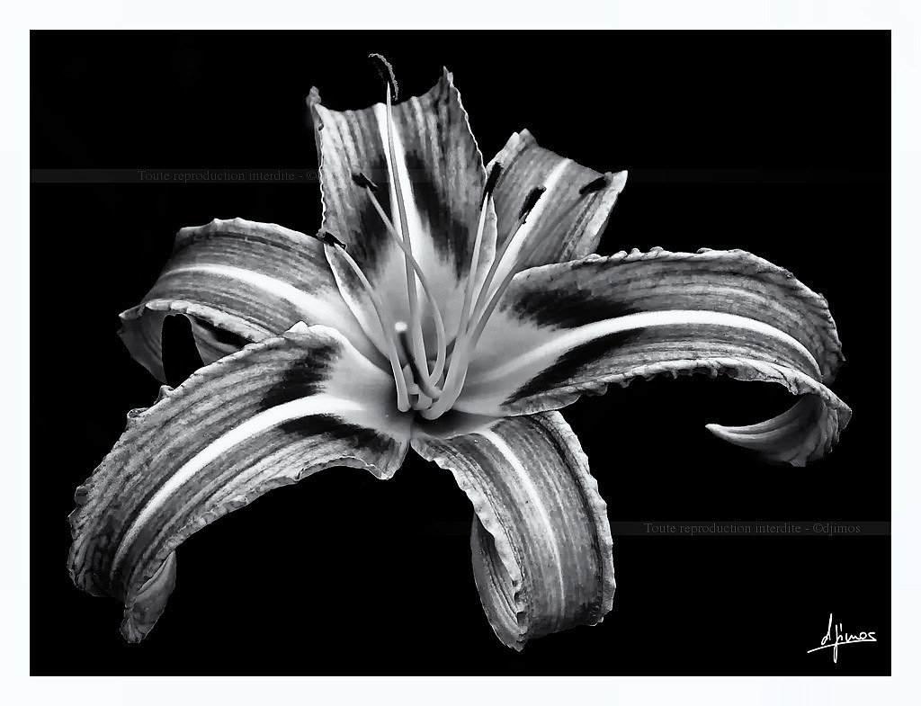 Fleur De Lys En Noir Et Blanc Lily Flower In Black And W