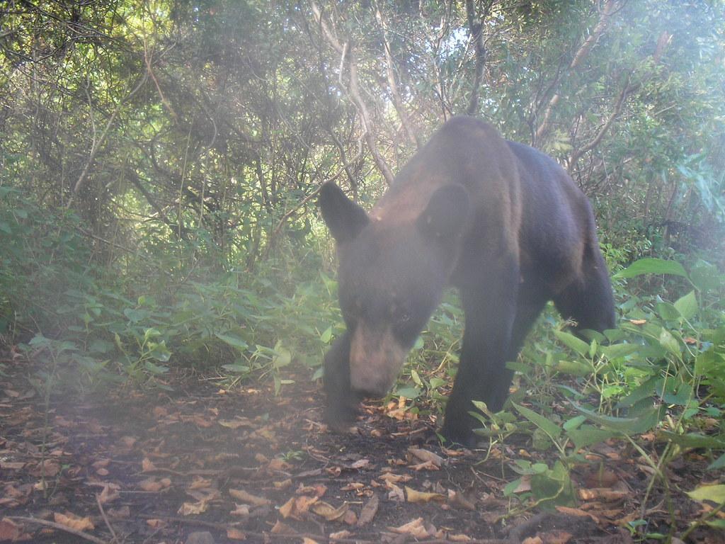 Bear in the Everglades WMA | Everglades Complex of Wildlife ...